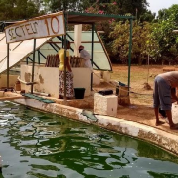 Un bassin de spiruline couvert au Burkina Faso